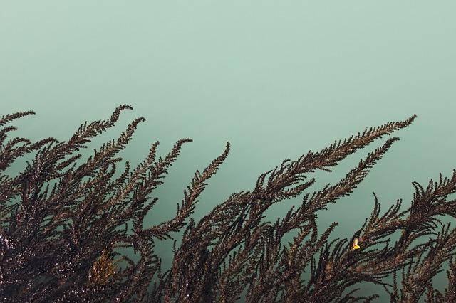 algae dream