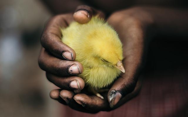 chick dream