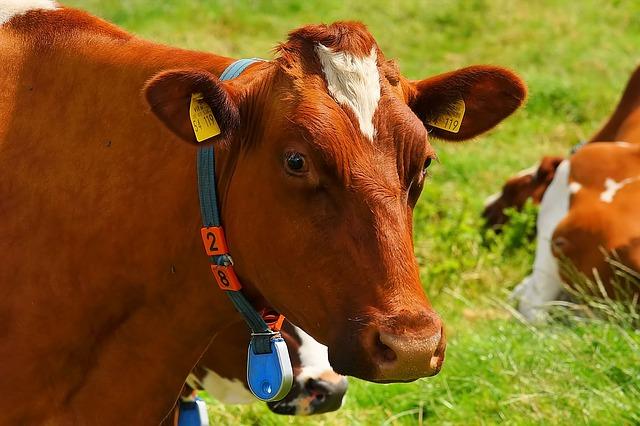 cow dream