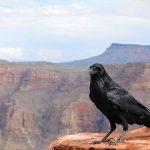 crow dream