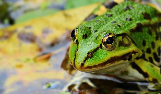 frog dream