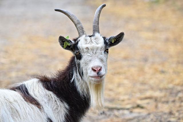 goat dream
