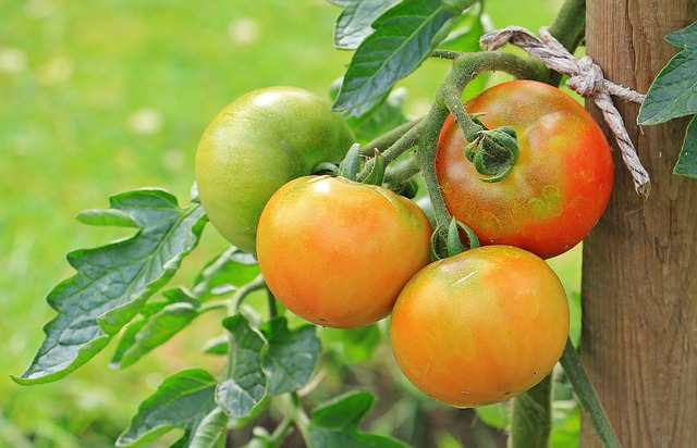 green tomatoes symbol