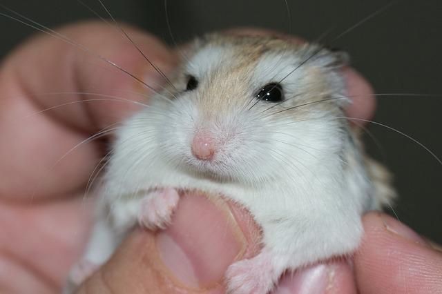 hamster dream