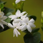 jasmine dream meaning