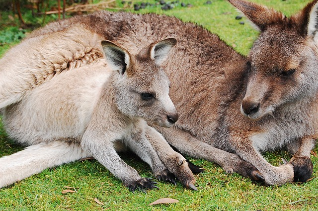 kangaroo dream interpretation