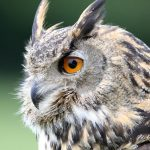 owl dream meaning