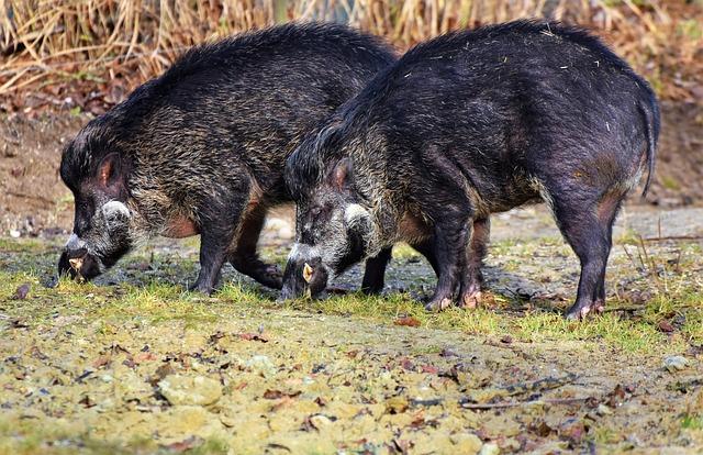 boar dream