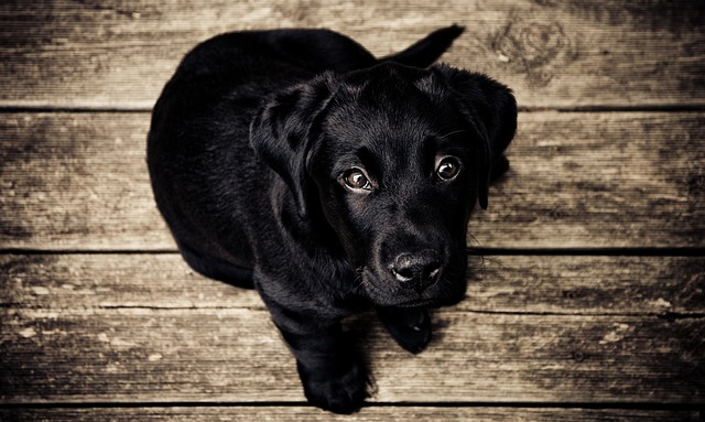 dream black dog