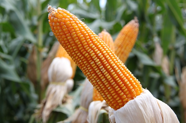corn dream meaning