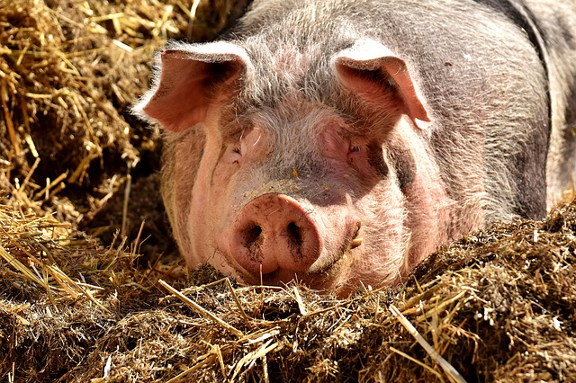 pig dream meaning