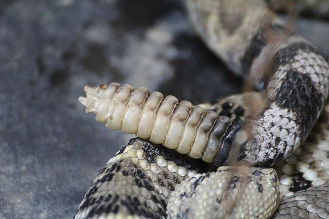 dream rattlesnake