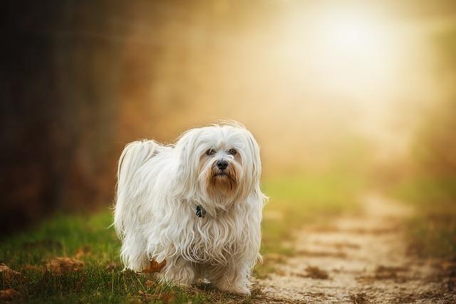 white dog dream