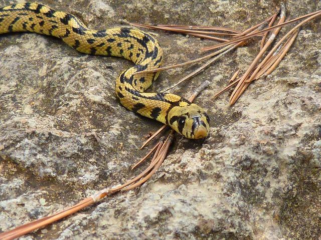 dream yellow snake