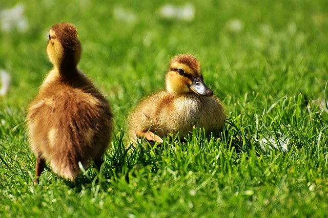 duck dream meaning