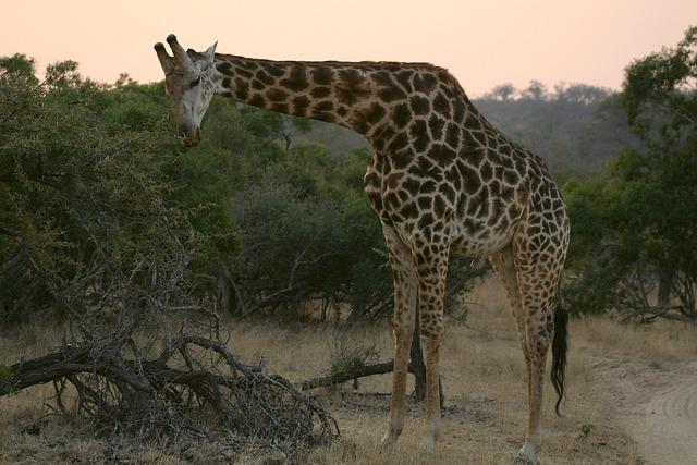 meaning of giraffe in dreams