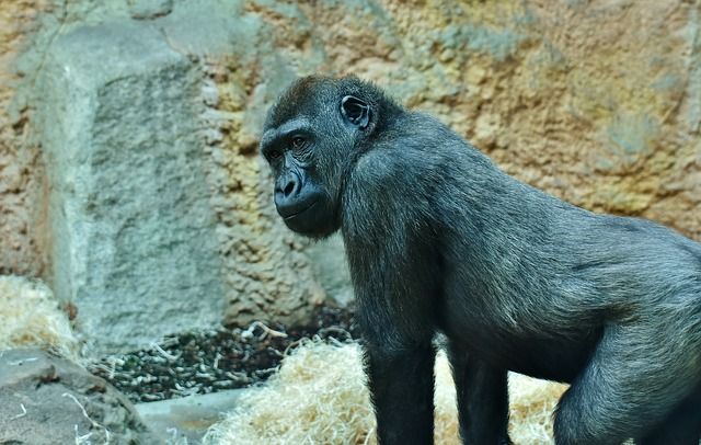 gorilla dream meaning