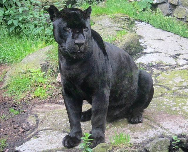 panther dream meaning