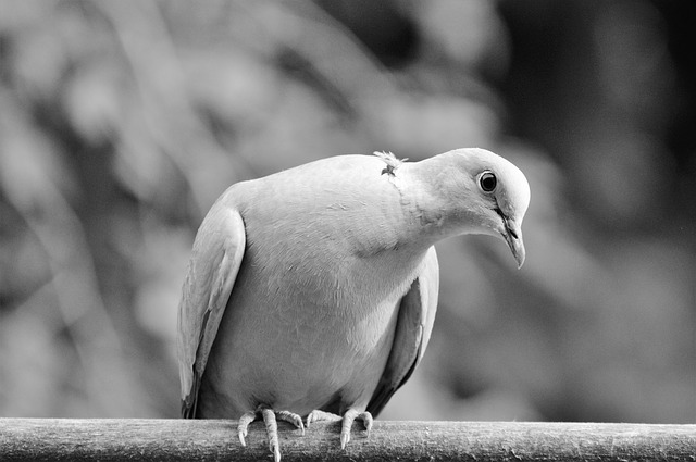 pigeon dream meaning