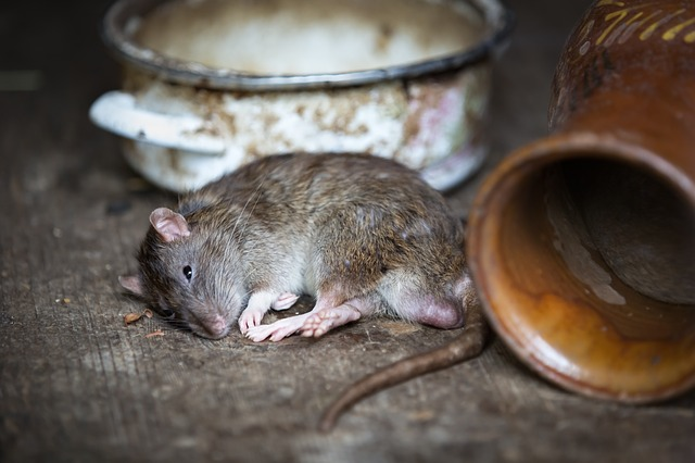 rat dream meaning