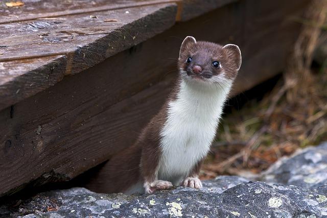 Weasel civet ferret dream meaning